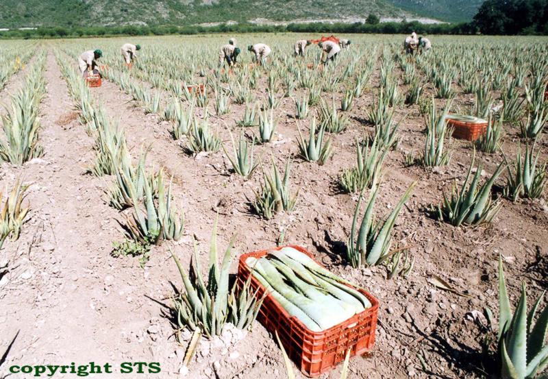 aloe-vera-bio-plantage-ecolife
